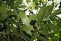 Theobroma cacao 37zz.jpg
