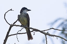 Thick-billed Kingbird Santa Gertrudis Lane Tubac AZ 2018-08-06 12-07-38 (43296940844).jpg