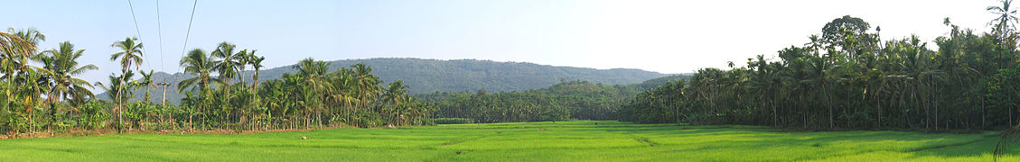 Paddy field in Thillankerry, Kannur