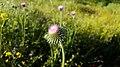 Thistles in the family Asteraceae in Yerevan 02.jpg