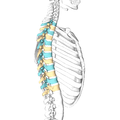 Lateral surface of the    thoracic vertebrae. Right half of the thoracic skeleton is not shown.