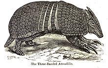 Tolypeutes matacus