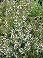 Thymus vulgaris 'Common thyme' (Lamiaceae) plant.JPG