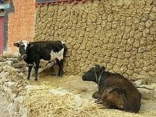 Tibet: produzione di mattonelle di letame essiccato