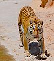 Tiger beauty (5466371904).jpg