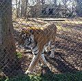 Tiger in enclosure at Carolina Tiger Rescue 1.jpg