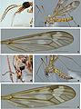 Tipula recondita - ZooKeys-192-051-g002.jpg