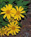 Tithonia diversifolia-- Tree Marigold (25057294940).jpg