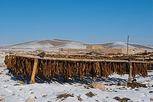 Curing of tobacco - Sun-cured tobacco, Bastam, Iran.