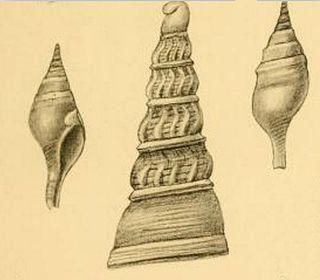 <i>Tomellana leschkei</i> Species of gastropod