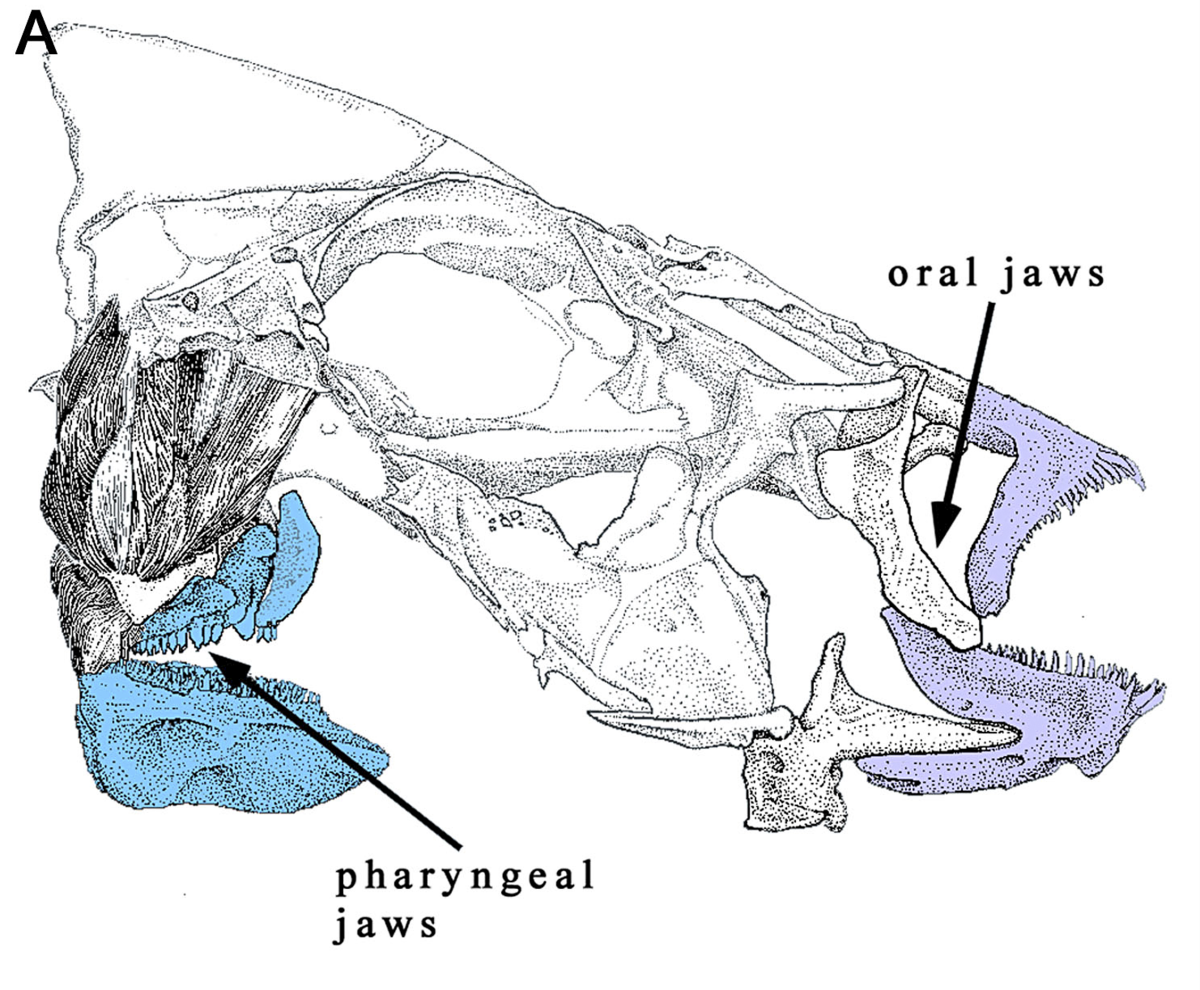 Fish jaw - Wikipedia