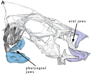 Fish jaw - Wikipedia