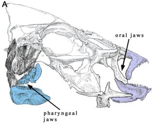 Fish jaw
