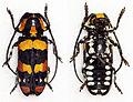Tragocephala mima (11328573715).jpg