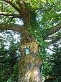 Traubeneiche (Quercus petraea), Steiermark 01.JPG