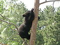 Tree Climbing, Bear Style.jpg
