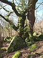 Tree and rock, Lustleigh Cleave - geograph.org.uk - 1762209.jpg