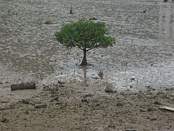 Tree at Tai O shore.JPG