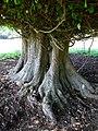 Tree at Thorpe Farm - geograph.org.uk - 554387.jpg
