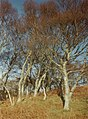 Trees Ardentallan Point - geograph.org.uk - 90145.jpg