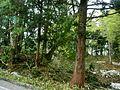 Trees beside tateyama-kurobe-alopen route - panoramio.jpg