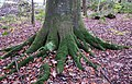 Trees socks on Beech (Fagus sylvatica), Lainshaw Woods, Stewarton, East Ayrshire.jpg