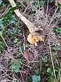 Tremella mesenterica on Ulex europaeus.jpg