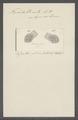 Trichoda urnula - - Print - Iconographia Zoologica - Special Collections University of Amsterdam - UBAINV0274 113 15 0024.tif
