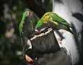 Trichoglossus chlorolepidotus -Crestwood Reserve, Baulkham Hills, Sydney, Australia-8.jpg