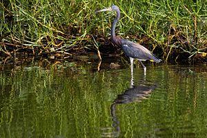 Laguna de Tacarigua National Park - Image: Tricolored Heron Garza Pechiblanca (Egretta tricolor ruficollis) (10276650745)