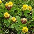 Trifolium badium RF.jpg