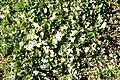 Trifolium subterraneum (habitus).jpg