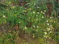 Tripleurospermum maritimum subsp inodorum plant6 (16192345159).jpg