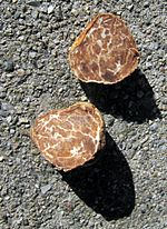 Fruit bodies of the Oregon truffle
