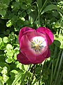 Tulip 2020.jpg
