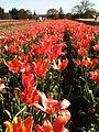 Tulip fields.jpg