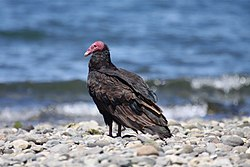 Turkey Vulture (4302396171).jpg