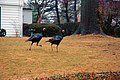 Turkeys running.jpg