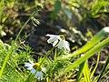 Two flowers of camomile - panoramio.jpg