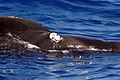 US Navy 080724-N-9316F-009 An adult male pilot whale with an attached D-TAG swims off the coast of Kona, Hawaii.jpg