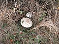 Umbrella fungi on path near Fordland Copse - geograph.org.uk - 1570986.jpg