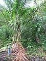 Unidentified Palm - Keanae Arboretum, Maui, Hawaii 002 by Forest and Kim Starr.jpg