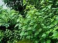 Unidentified Urticaceae - 2010-07-26 071 01 - 荨麻科 by 石川 Shihchuan - 001.jpg
