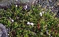 Unidentified plant in Dunedin Botanic Garden 06.jpg