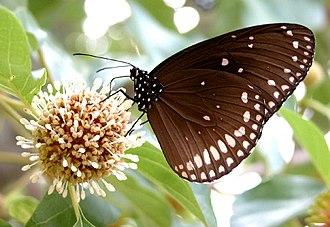 Euploea sylvester - Image: VB 056 Double Branded Crow