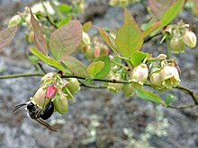 Vaccinium pallidum - Blue Ridge Blueberry.jpg