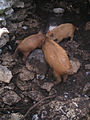 Valle del Genal piglets.jpg