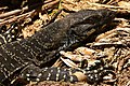 Varanus varius (Lace Monitor) (4363866833).jpg
