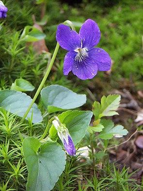 Hainveilchen (Viola riviniana)