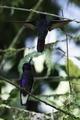 Velvet-purple coronets 2.tif